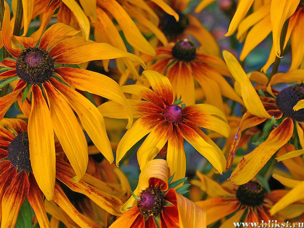 Фото цветка рудбекия мирабилис подключают
